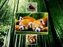 Pandas roux 1