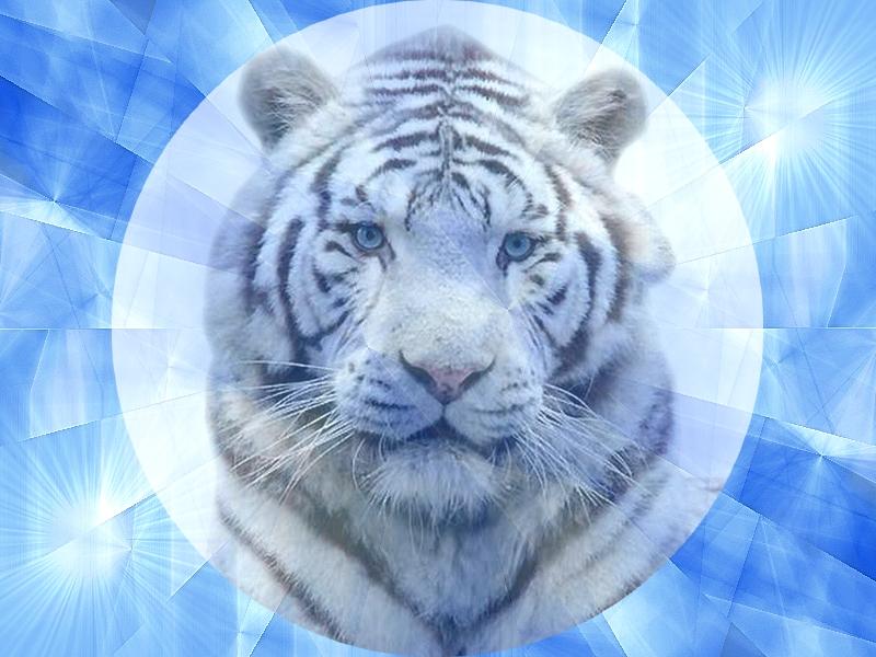 Maxalae fond dcran de chat tigre blanc de sibrie for Image fond ecran animaux